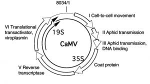 CaMV-Genome-300x168