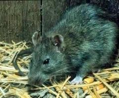rata y la peste