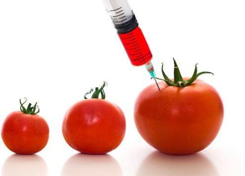 GMOTomato